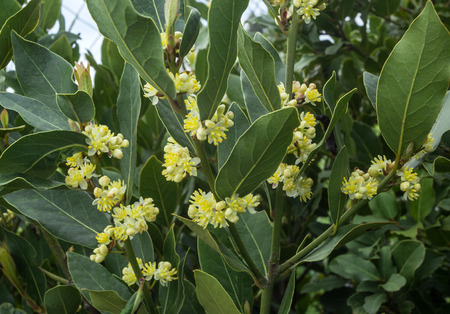 the bay: blossoms on the branches of laurel tree