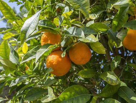 citrus tree: Oranges on a citrus tree close up.