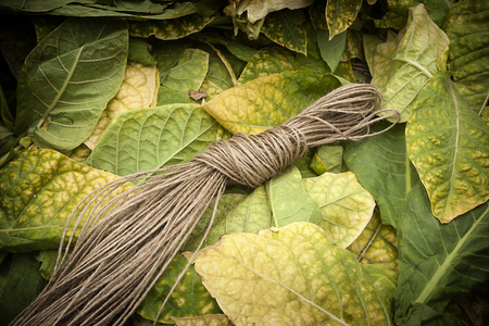 tobacco leaf: Tobacco leaf ready for drying with rope Stock Photo