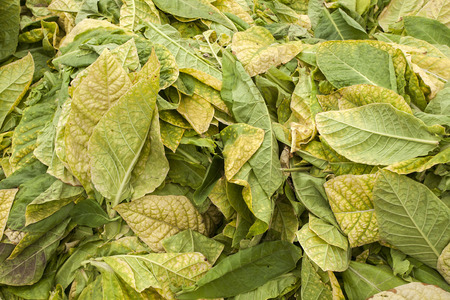 swine flue: yellow dry tobacco leaves, closeup of photo