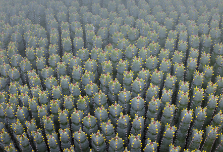 specie: Cactus Specie Closeup Photo. Mallorca Cactuses.