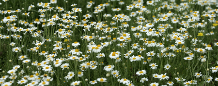 campo de flores: Wild chamomile flowers on a field on a sunny day. shallow depth of field