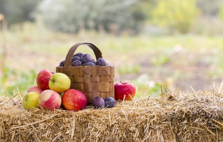 harvest time: Harvest time, apples, plums, with copy space