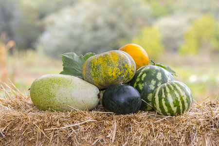 Cantaloupe: Fresh melons on a straw on the ground in the garden