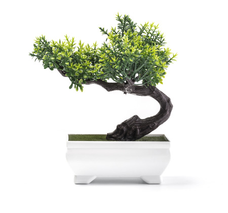 Bonsai pine tree against a white wall background