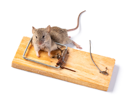 The mouse got into a mousetrap. The corpse of the mouse is trapped.