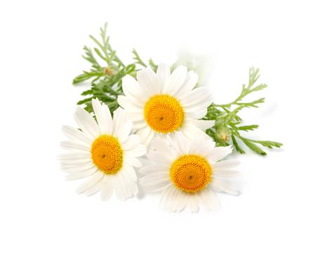 Camomilla o fiori di camomilla isolati su sfondo bianco.