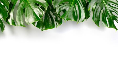 Exotic tropical monstera palm leaves at white