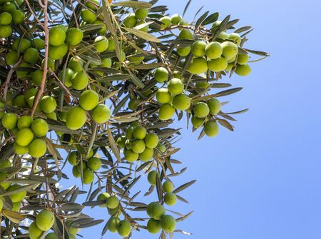 Olive trees garden. Mediterranean olive field ready for harvest Stock Photo