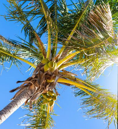 Green coconut palm growing at tropical beach,Tenerife, Spain