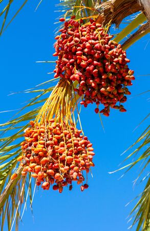 Dates are growing on a palm tree. Tenerife, Spain Reklamní fotografie