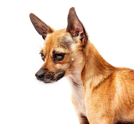 small dog with big eyes and ears isolated on white