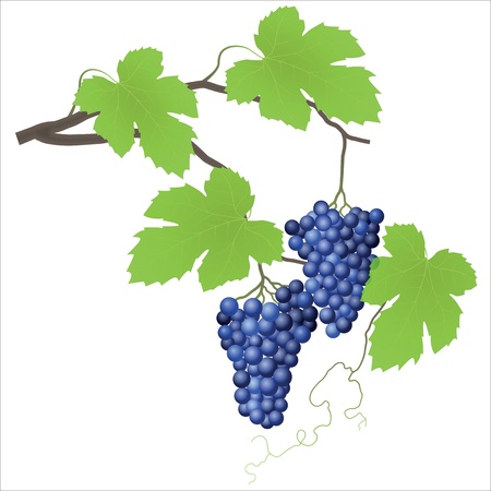 fruitful: Grape vine Illustration