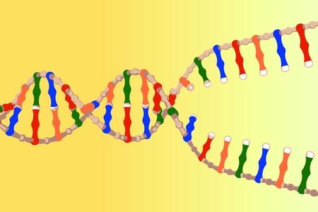 Separated DNA strands Illustration