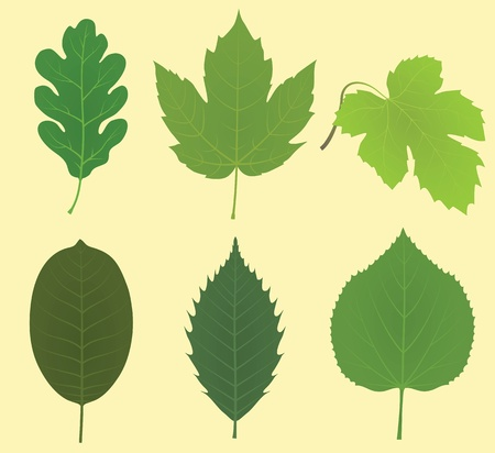 walnut: Collection of leaves (oak, maple, vine grape, walnut, chestnut, linden)