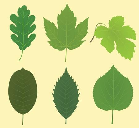 Collection of leaves (oak, maple, vine grape, walnut, chestnut, linden) Stock Vector - 9931672