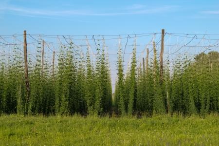 hop plant: Hop field