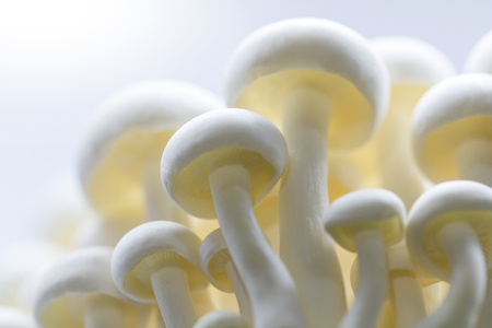 White Bunapi-shimeji mushrooms, Hypsizygus tessellatus, a kind of gilled mushroom also called Beech Mushroom closed up in shallow depth-of-field in hight-key tone. A cute and tiny natural background.