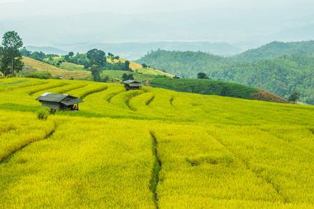 chaingmai: rice fields in Chaingmai Thailand Stock Photo
