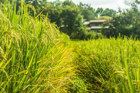 rice fields: rice fields in Chaingmai Thailand Stock Photo
