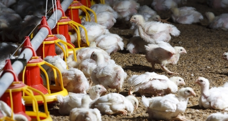 chicken farm with feed for meat Stockfoto