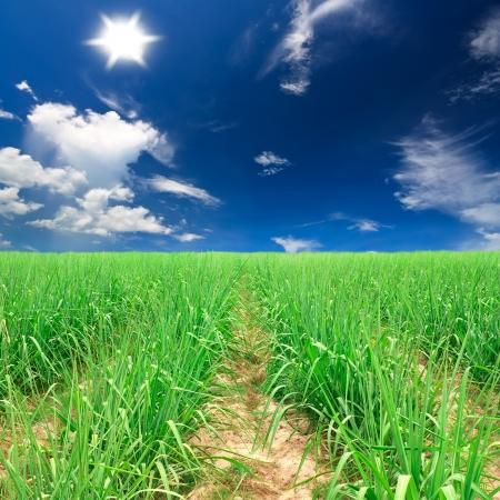 sugar cane farm: sugar cane farm plentifully with bright shy & sun at kanchanaburi