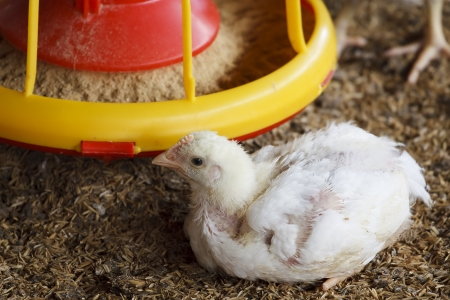 chicken farm with feed for meat Stock Photo