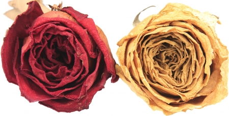 single rose: beautiful dry red & white rose on white background Stock Photo