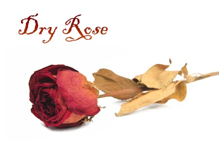 beautiful dry rose on white background photo