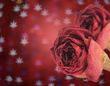 red rose bokeh: dual beautiful dry red rose on blur maple leaves bokeh background Stock Photo