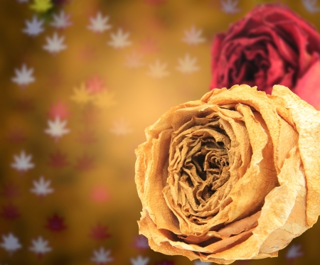 red rose bokeh: dual beautiful dry white & red rose on blur maple leaves bokeh background