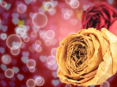 red rose bokeh: beautiful dry white and red rose on bubble with blur heart bokeh background