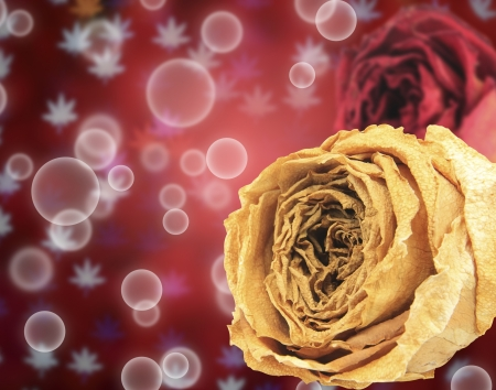 red rose bokeh: beautiful dry white and red rose on bubble with blur maple leaves bokeh background