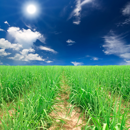 beautiful landscape sugar cane farm and field plentifully with sun and sunlight on blue sky and white cloud at kanchanaburi Stock Photo
