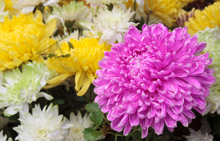 beautiful pink, yellow, and white chrysanthemum bouquet colorful flower on winter floral festival and valentine day for background