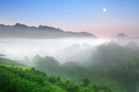 green tea with jungle and sea of mist or fog on top of mountain morning landscape with sunrise beam and full moon on blue sky at tea farm 2000 in Doi Ang Khang on winter for background or dream scene