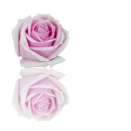 fresh beautiful pink rose petal and aroma with drop of water for love flower or valentine day on white background with reflection shadow isolated with copyspace included clipping path Stock Photo