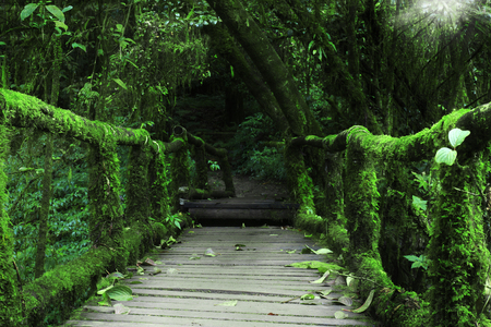 old wood bridge with green moss plant and tree on sunlight beam in the plentiful jungle or forest at doi inthanon