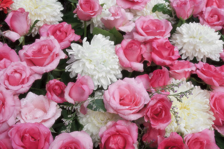 fresh beautiful red and pink rose with drop of water and fragrance for love on valentine day and white chrysanthemum bouquet flower on winter floral festival garden for background