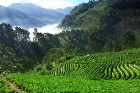 landscape strawberry fruit farm Ban No Lae and the sea of mist or fog with green tree and mountain on the clear blue sky with sunlight beam in the morning at Doi Ang Khang Stock Photo