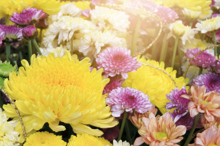 beautiful yellow, pink, white and orange chrysanthemum bouquet colorful fresh flower with sunlight on winter floral festival and valentine day for background