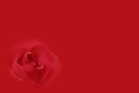 fresh beautiful red rose and aroma with drop of water for love flower or valentine day card on red background with copyspace