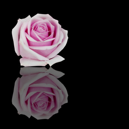 fresh beautiful pink rose petal and aroma with drop of water for love flower or valentine day on black background with reflection shadow isolated with copyspace included clipping path