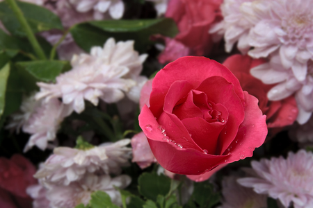 fresh beautiful red rose with drop of water and fragrance for love on valentine day and pink chrysanthemum bouquet flower on winter floral festival garden for background