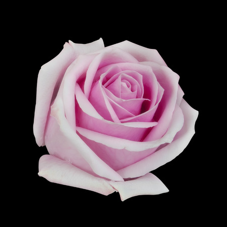 fresh beautiful pink rose petal and aroma with drop of water for love flower or valentine day on black background isolated included clipping path for easy cut