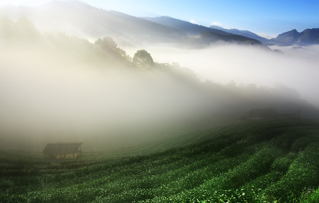 morning landscape top of mountain for green tea with sea of mist or fog on sunrise beam and old wooden cottage on blue sky at tea farm 2000 in Doi Ang Khang on winter for background or dream scene