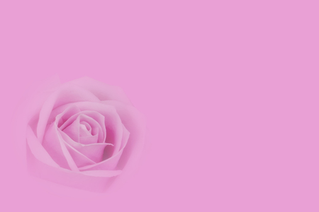 fresh beautiful pink rose petal and aroma for love flower or valentine day card on pink background with copyspace