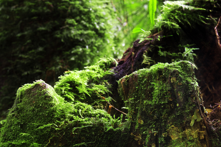green moss plant on tree and stump wood with rock and sunlight beam in the deep jungle or forest and plentiful environment