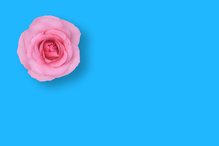 fresh beautiful pink rose petal and aroma with drop of water and shadow for love flower or valentine day card on blue vintage background isolated with copyspace