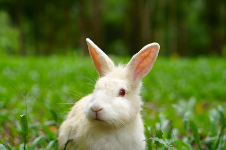 white wild rabbit and red eye looking something on meadow and green grass nature with tree in the garden or jungle for animal life background Reklamní fotografie